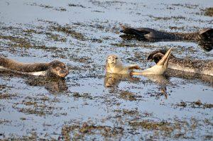 Two seals basking in Pierowall Bay